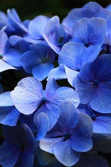 Beautiful, Blue, Flowers, Hydrangea, Comfort, Aroma
