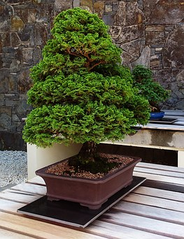 Bonsai, Tree, Plant, Garden, Japanese, Traditional