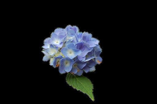 Flower, Blue, Hydrangea, Isolated Form
