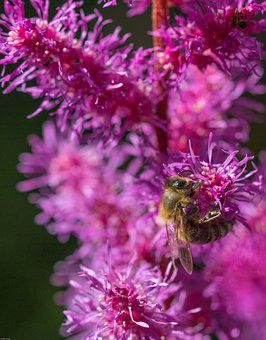 Prachtspiere, Astilbe, Bee, Insect, Garden Astilbe, Red