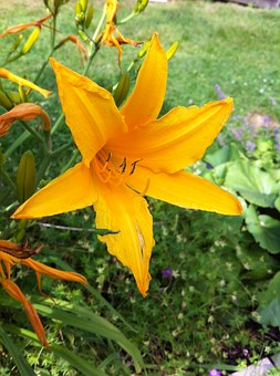 Flower, Lily, Tiger Lily, Flowers, Nature, Summer