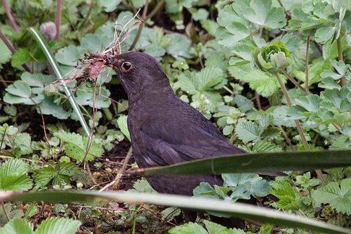 Blackbird, Turdus Merula, True, Bird, Species, Thrushes
