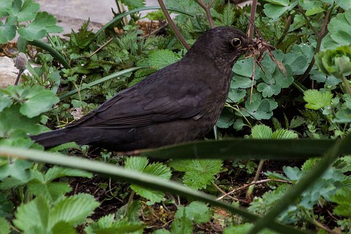 Blackbird, Turdus Merula, True, Bird, Species