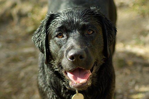 Dog, Labrador, Language, Hair, Wet