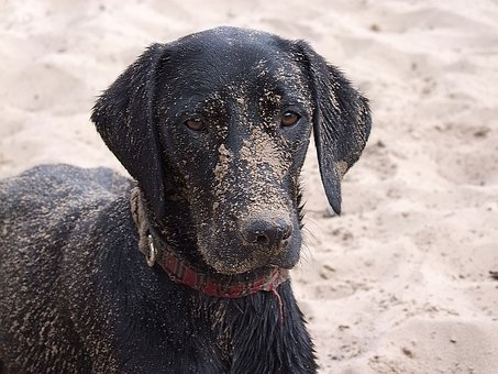 Labrador, Dog, Beach, Water, Wet