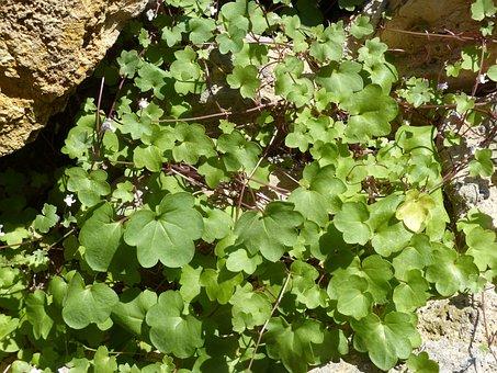Dulcimer Herb, Green Stuff, Zymbelkraut