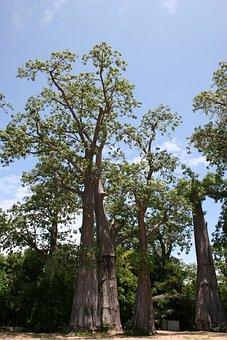 Embondeiro, Malawi, Tree, Organic, Agriculture