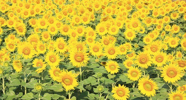 Sunflower, Handling, Autumn, Background, Bright