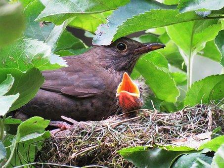 Blackbird, Nest, Young, Bird's Nest, Bird Young, Bill
