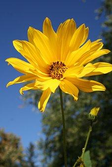 Woodland Sunflower, Flower, Floral, Wildflower, Yellow