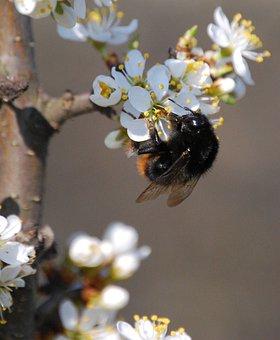 Wasp, Flower, Pollen, Sloe, Honey