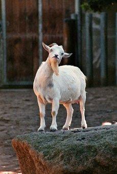 Goat, Bart, Zoo, Goatee, Animal World, Head, Animal