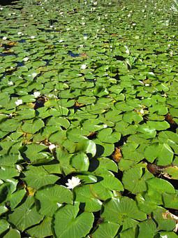 Pond, Lily, Lotus, Water, Lilypad, Nature, Green