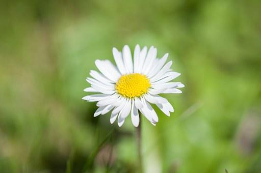 Daisy, Flower, Pointed Flower, Nature, Yellow, White