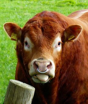 Beef, Bull, Nose Ring, Agriculture, Livestock, Ruminant