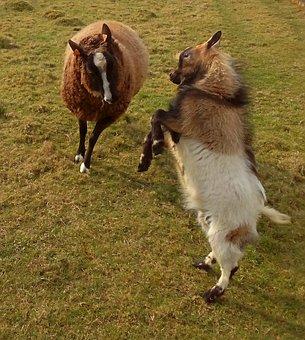 Sheep, Animals, Farm Animals, Goat, Prance, Rebellious
