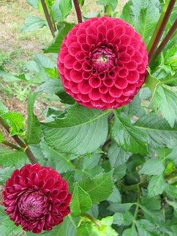 Dahlia, Autumn, Autumn Flower, Pink, Garden, Purple