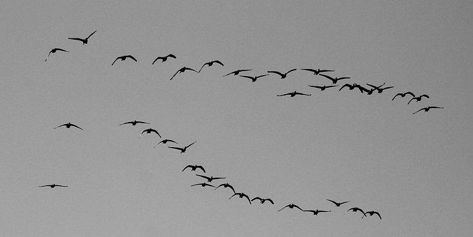 Nature, Birds, Muscovy Ducks