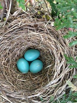 Bird's Nest, Robin Nest, Nest, Nature, Robin, Egg