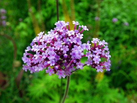 Argentine Vervain, Blossom, Bloom, Verbena, Flower