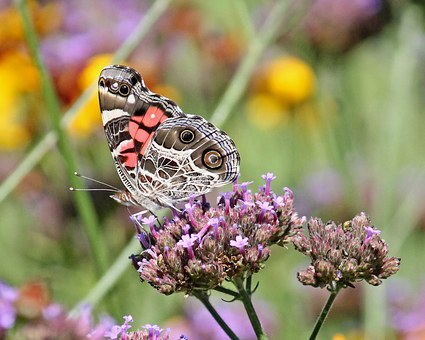 Butterfly, Insect, American Lady, Verbena Bonariensis