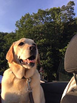 Dog In The Car, Laughing, Labrador, Pet, Friendly, Male
