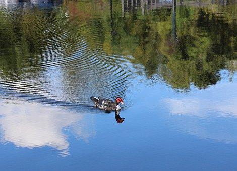 Duck, Bird, Nature, Wild, Wildlife, Water, Reflection