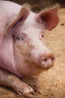 Agriculture, Animal, Domestic, Ear, Farm, Hairy, Head