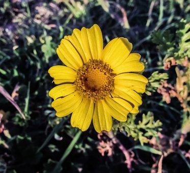 Yellow Flower, Arnica, Plant, Flora, Cyprus, Cavo Greko