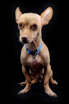 Dog, Chihuahua, Animal, Breed, Friend, Pet, Tag, Shy