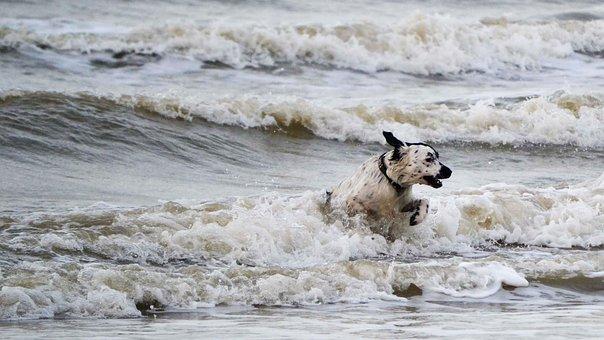 Dog, Waves, Sea, Frisian Pointing Dog, Charlie Cool