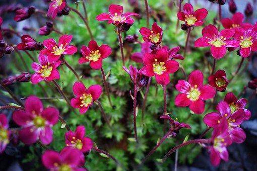 Spring, Flower, Nature, Plant, Garden, Skalnik