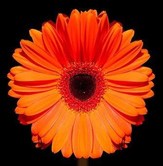 Marigold, Flower, Blossom, Bloom, Gerbera, Bloom