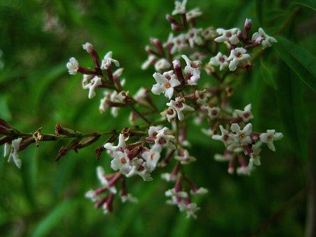 Lemon Verbena Flowers, Flowers, White, Dainty, Herb