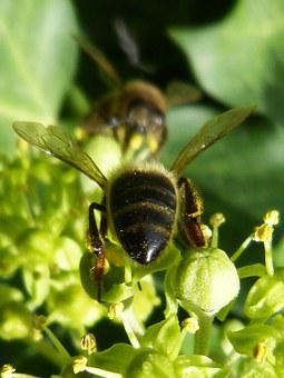 Bees, Sucking, Insects, Green, Nectar, Nature
