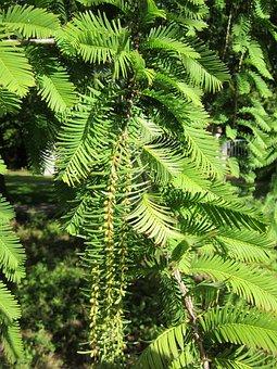 Metasequoia Glyptostroboides, Dawn Redwoos, Coniferous