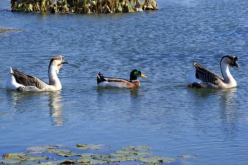 Multicultural, Goose, Mallard Duck, Protection