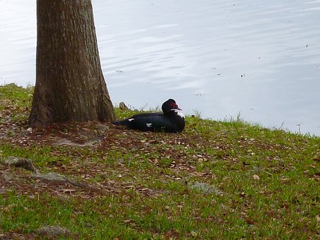 Muscovy Duck, Black And White, City Park, Ocala Florida