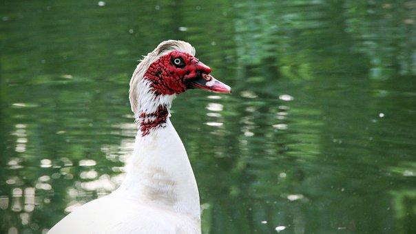 Muscovy Ducks, Duck, Bird, Pond, Fauna