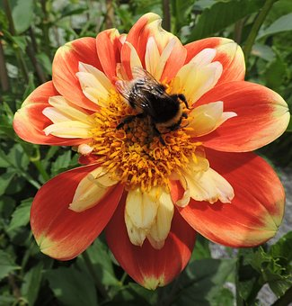 Marigold, Hummel, Orange, Red, Yellow, Garden, Insect
