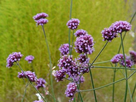Verbena, Plant, Blossom, Bloom, Purple, Violet