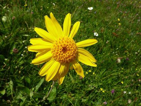 Arnica, Markstein Flowers, Mountain Flower, Vosges