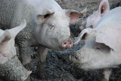 Pigs, Swine, Mud, Dirt, Wallow, Mammal, Happy, Animals