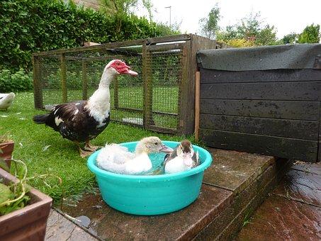 Muscovy Ducks, Ducklings, Waterfowl, Drake