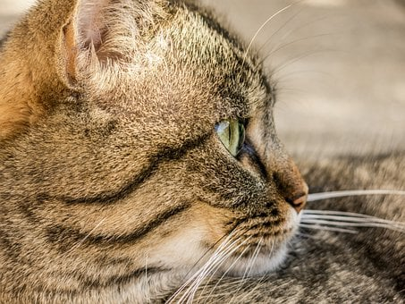 Cat, Tiger, Animal, Domestic Cat, Adidas, Mieze