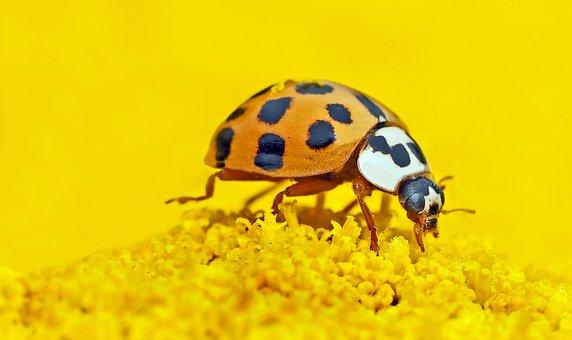 Asian Lady Beetle, Insect, Flower, Harmonia Axyridis