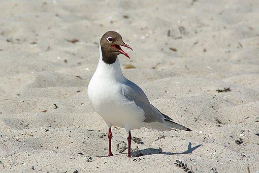 Black Headed Gull, Larus Ridibundus, Water Bird, Beach