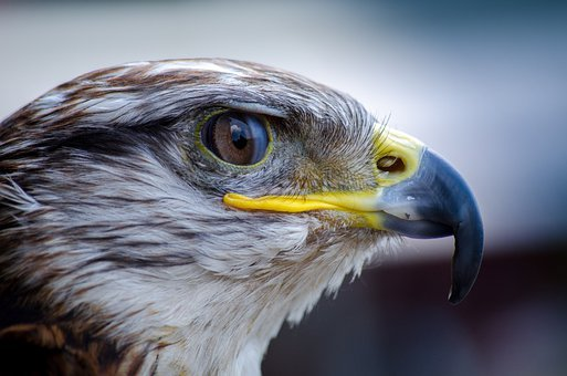 Bird, Falcon, Bird Of Prey, Nature, Beak, Predator