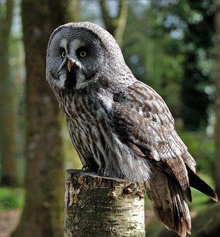 Grey Owl, Large Owl, Owl, Bird, Animal, Nature