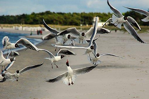 Black Headed Gulls, Larus Ridibundus, Waterfowl, Beach